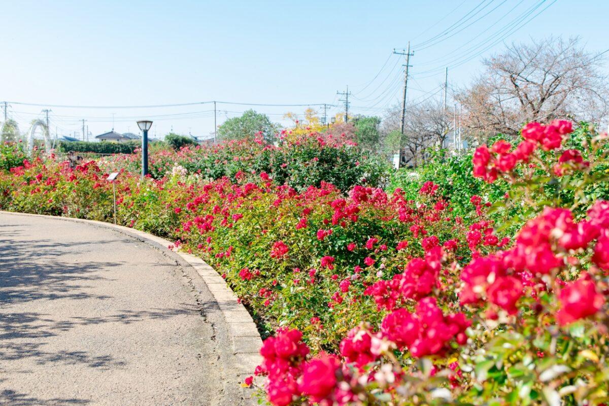 伊奈町町制施行記念公園のバラ園の写真