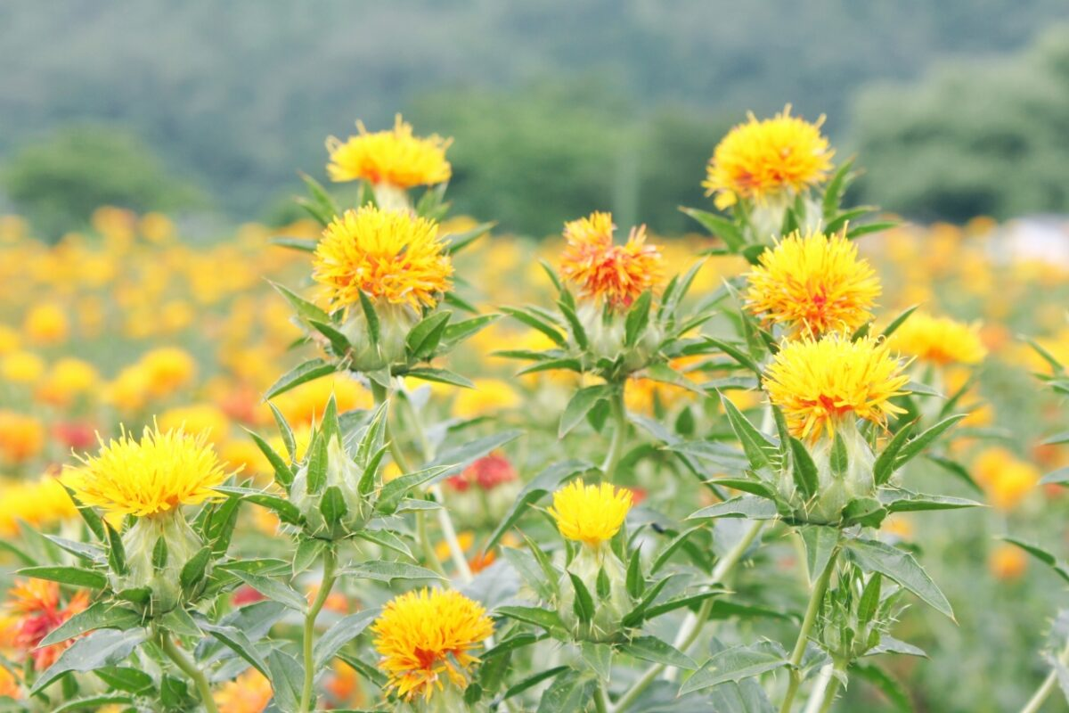べに花摘み取り園(桶川市)